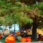 Pumkins in Boonville Missouri near Columbia at The Peach Tree Farm 2