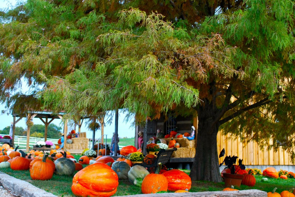 Pumkins in Boonville Missouri near Columbia at The Peach Tree Farm 2