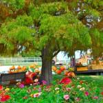Pumkins in Boonville Missouri near Columbia at The Peach Tree Farm 3