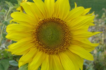 Sunflower at The Peach Tree Farm in Boonville near Columbia MO