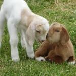 The Barnyard Animals of The Peach Tree Farm in Boonville MO near Columbia Missouri (2)