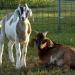 The Barnyard Animals of The Peach Tree Farm in Boonville MO near Columbia Missouri (3)