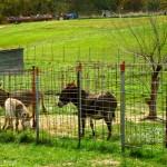 The Barnyard Animals of The Peach Tree Farm in Boonville MO near Columbia Missouri 3
