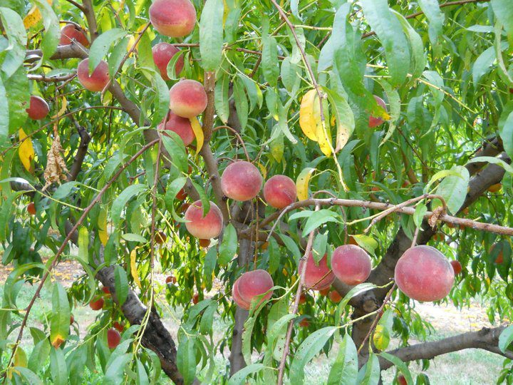The Peach Tree Farm near Columbia and Boonville Missouri (4)