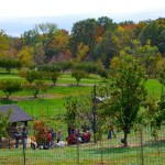 The Peach Trees at the Peach Tree Farm in Boonville Missouri